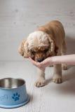 妇女所有者哺养的狗用手在家 免版税库存图片