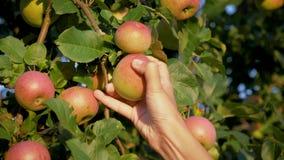 妇女手从一棵苹果树收集了成熟苹果计算机在庭院里在好日子 股票录像