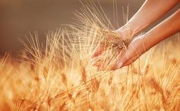 妇女手感人的金黄麦田 免版税库存图片