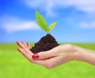 妇女手拿着在明亮的自然backgro的绿色植物 免版税库存图片