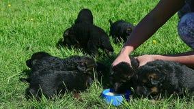 妇女手给牛奶小德国牧羊犬小狗 影视素材