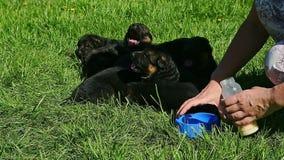 妇女手给牛奶小德国牧羊犬小狗 股票视频