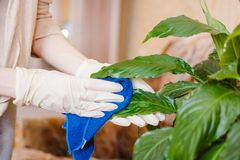 妇女拂去一朵花的灰尘 清洗在房子里,纯净在房子里 花关心  库存照片