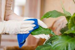 妇女拂去一朵花的灰尘 清洗在房子里,纯净在房子里 花关心  库存图片