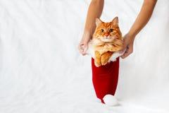 妇女拿着有姜猫的一个红色圣诞节帽子在它 免版税库存照片