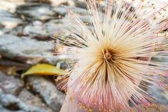 妇女拿着逗人喜爱的米黄花在海滨 库存照片