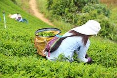 妇女挑库茶在庭院里 免版税库存照片