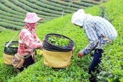 妇女挑库茶在庭院里 免版税图库摄影