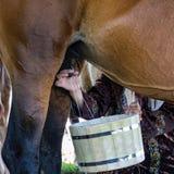 妇女挤奶一匹马 库存照片