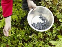 妇女摘蓝莓 免版税库存照片