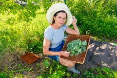 妇女收集新鲜的薄荷使用剪刀和盘子在庭院里 库存图片