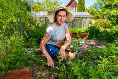 妇女收集新鲜的薄荷使用剪刀和盘子在庭院里 免版税库存图片