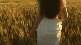 妇女旅行领域用金黄麦子 走在成熟麦子的领域的美女 t 有机麦子 影视素材