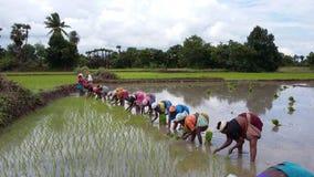 妇女植物米 免版税库存图片