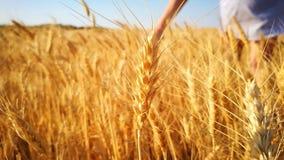 妇女沿小麦金黄领域走,接触钉手 股票视频