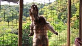 妇女游人猴子 股票视频
