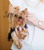 妇女爱抚的迷人的Yorkie狗宠物 免版税库存照片