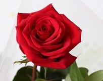 妇女爱的红色玫瑰花全世界2 免版税库存图片