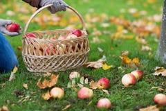 妇女用篮子在秋天庭院的采摘苹果 库存图片
