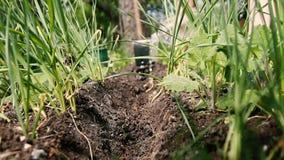 妇女的手倾吐在庭院床的水 种植幼木