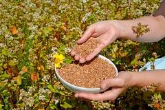 妇女的手拿着一个碗用在播种竞选Fagopyrum的开花的荞麦的领域的荞麦esculentum 免版税库存照片