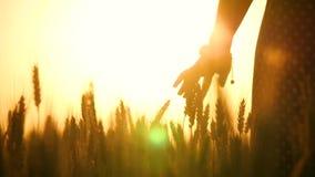 妇女的手接触麦子的耳朵在领域的 太阳的光芒通过您的手指使用 ?? 影视素材