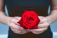 妇女的手给一朵红色玫瑰 日s华伦泰 图库摄影