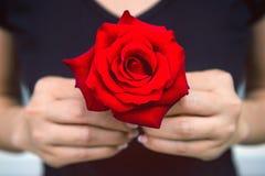 妇女的手给一朵红色玫瑰 日s华伦泰 库存照片