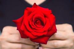 妇女的手给一朵红色玫瑰 日s华伦泰 库存图片