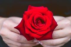 妇女的手给一朵红色玫瑰 日s华伦泰 免版税库存照片