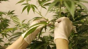 妇女研究医药的,手剃刀裁叶子耕种大麻大麻 股票视频