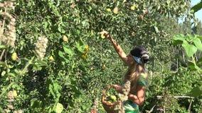妇女聚集梨果子在eco庭院里 夏天庭院收获4K 股票录像