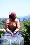 妇女茶工作者在Munnar,喀拉拉,印度巩固好处 免版税库存照片