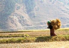 妇女运载的捆绑走在米领域的米秸杆 免版税库存照片