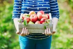 妇女递拿着一个条板箱用在农场的新鲜的成熟苹果 免版税库存图片