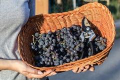 妇女递拿着新近地被收获的黑葡萄准备好在一个柳条筐的葡萄酒酿造 免版税库存图片