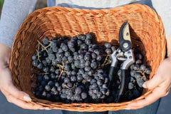 妇女递拿着新近地被收获的黑葡萄准备好在一个柳条筐的葡萄酒酿造 免版税图库摄影