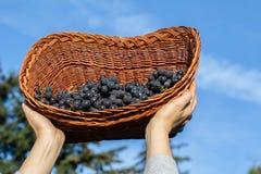 妇女递拿着新近地被收获的黑葡萄准备好葡萄酒酿造 免版税库存图片