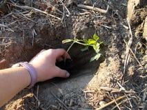妇女递种植蕃茄幼木 免版税库存照片