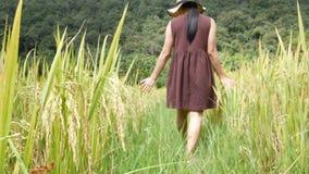 妇女通过山围拢的一个金黄多小山领域走在泰国北部 影视素材