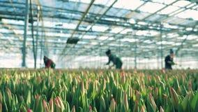 妇女采摘从地面的郁金香,当工作在玻璃温室时 影视素材