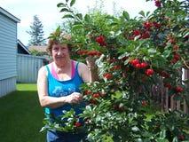 妇女采摘欧洲酸樱桃 库存图片
