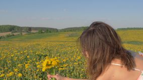 妇女采摘花和聚集在黄色蒲公英开花的领域花束  股票视频
