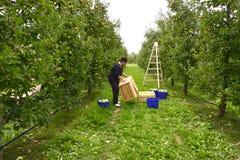 妇女采摘苹果在果树园在Resen,马其顿 库存照片