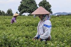 妇女采摘茉莉花在一个茉莉花种植园在横县,茉莉花的中国首都开花 免版税库存照片