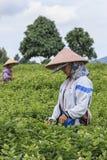 妇女采摘茉莉花在一个茉莉花种植园在横县,茉莉花的中国首都开花 库存图片
