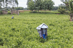 妇女采摘茉莉花在一个茉莉花种植园在横县,茉莉花的中国首都开花 库存照片