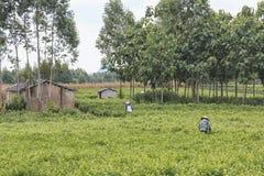 妇女采摘茉莉花在一个茉莉花种植园在横县,茉莉花的中国首都开花 免版税库存图片