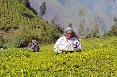 妇女采摘茶叶在Munnar,喀拉拉,印度 免版税库存照片