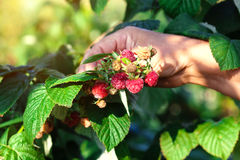 妇女采摘莓 免版税库存照片